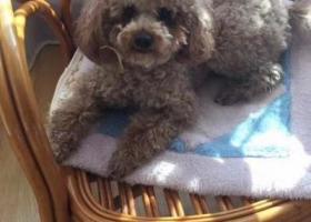 寻狗启示,青岛福苑小区丢失泰迪狗一只 如有归还 必有重谢,它是一只非常可爱的宠物狗狗,希望它早日回家,不要变成流浪狗。