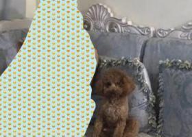 寻狗启示,青岛市崂山区西韩新苑丢失泰迪狗一只,它是一只非常可爱的宠物狗狗,希望它早日回家,不要变成流浪狗。