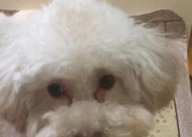 寻找走失灰白色泰迪母狗