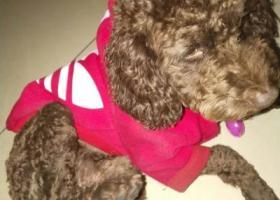 寻狗启示,今天在成都武侯区捡到一只泰迪 现在寻找失主,它是一只非常可爱的宠物狗狗,希望它早日回家,不要变成流浪狗。