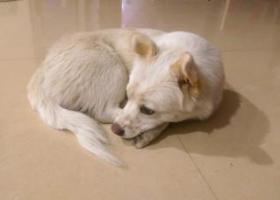寻狗启示,寻找一条银狐土狗串串 求好心人留意下,它是一只非常可爱的宠物狗狗,希望它早日回家,不要变成流浪狗。