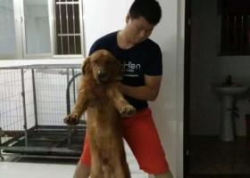 寻狗启示,找爱犬金毛走丢1年多了,它是一只非常可爱的宠物狗狗,希望它早日回家,不要变成流浪狗。