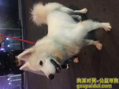 衡阳寻狗主人,在岳屏这一块自己跳上车的萨摩耶,它是一只非常可爱的宠物狗狗,希望它早日回家,不要变成流浪狗。