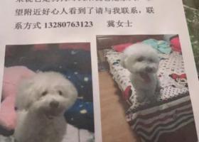 寻狗启示,寻潍坊光明小区丢失的白色比熊犬,名字饭团,它是一只非常可爱的宠物狗狗,希望它早日回家,不要变成流浪狗。