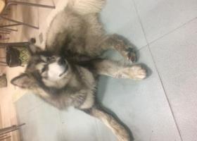 寻狗启示,11月13日夜里捡到一只成年阿拉斯加一只,希望失主早日看到信息领回!,它是一只非常可爱的宠物狗狗,希望它早日回家,不要变成流浪狗。
