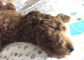 六个月母泰迪 上海 跑丢