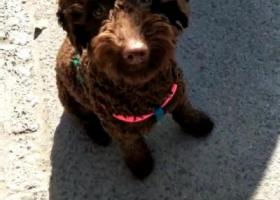 寻狗启示,咖啡色泰迪,如能找到必有重谢 ❗️,它是一只非常可爱的宠物狗狗,希望它早日回家,不要变成流浪狗。