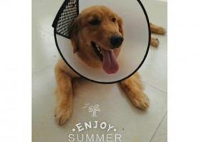 寻狗启示,黄色金毛,1岁,喜人,它是一只非常可爱的宠物狗狗,希望它早日回家,不要变成流浪狗。