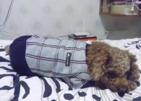 寻狗启示,泰迪于11月12日走失,它是一只非常可爱的宠物狗狗,希望它早日回家,不要变成流浪狗。