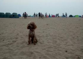 寻狗启示,青岛崂山区西韩新苑丢失泰迪一只,它是一只非常可爱的宠物狗狗,希望它早日回家,不要变成流浪狗。