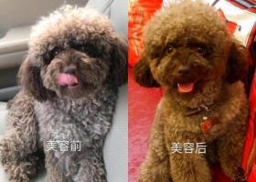 上海静安区愚园路579弄酬谢三千元寻找泰迪