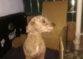 寻狗启示,朋友在福州上渡公交车站捡到黄色泰迪犬!代发启示,它是一只非常可爱的宠物狗狗,希望它早日回家,不要变成流浪狗。