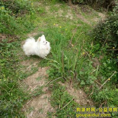 滨州寻狗,滨州市渤海4路黄河7路丁字路寻找博美犬,它是一只非常可爱的宠物狗狗,希望它早日回家,不要变成流浪狗。