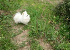 寻狗启示,滨州市渤海4路黄河7路丁字路寻找博美犬,它是一只非常可爱的宠物狗狗,希望它早日回家,不要变成流浪狗。