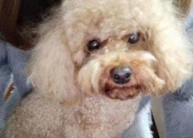 寻狗启示,2017年11月20日于湖南省株洲市石峰区丢失公泰迪一条,它是一只非常可爱的宠物狗狗,希望它早日回家,不要变成流浪狗。