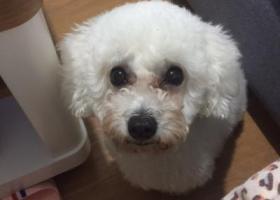 寻狗启示,新乡市新中大道向阳路三全学院门口寻找白色泰迪,它是一只非常可爱的宠物狗狗,希望它早日回家,不要变成流浪狗。