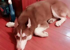 寻狗启示,寻狗启事!急急急!!重金酬谢!,它是一只非常可爱的宠物狗狗,希望它早日回家,不要变成流浪狗。