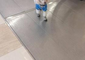 寻狗启示,白色贵宾于2017.11.22上午在红旗广场附近丢失,它是一只非常可爱的宠物狗狗,希望它早日回家,不要变成流浪狗。