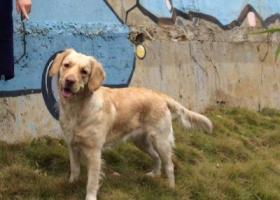 寻狗启示,找浅黄色,红鼻子的金毛,它是一只非常可爱的宠物狗狗,希望它早日回家,不要变成流浪狗。