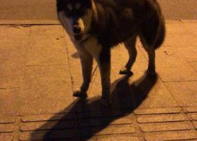 寻狗启示,杭州崇贤独山附近捡到哈士奇,它是一只非常可爱的宠物狗狗,希望它早日回家,不要变成流浪狗。