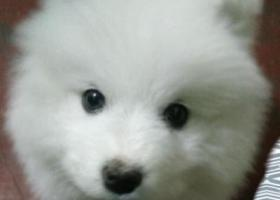 寻狗启示,萨摩耶丢失。大概十一月中旬丢失,它是一只非常可爱的宠物狗狗,希望它早日回家,不要变成流浪狗。