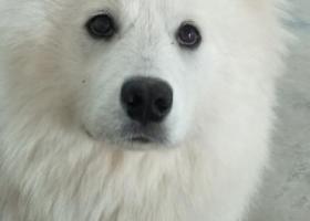 寻狗启示,11-18日走丢萨摩耶一只,希望好心人士看到联系我,它是一只非常可爱的宠物狗狗,希望它早日回家,不要变成流浪狗。