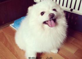 寻狗启示,温州市七都岛滨江首府门口走失小型愽美犬,它是一只非常可爱的宠物狗狗,希望它早日回家,不要变成流浪狗。