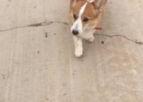 寻狗启示,家养黄白柯基犬,在邯山街走失,它是一只非常可爱的宠物狗狗,希望它早日回家,不要变成流浪狗。