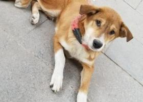 寻狗启示,双福新区,恒大附近捡到一只中华田园犬,主人快来恒大免费领走。,它是一只非常可爱的宠物狗狗,希望它早日回家,不要变成流浪狗。