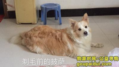 驻马店找狗,寻找黄白边境牧羊犬,看起来不太纯,它是一只非常可爱的宠物狗狗,希望它早日回家,不要变成流浪狗。