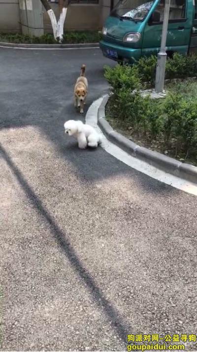 苏州找狗,重酬寻找吴江前窑村被抱走的白色母贵宾,它是一只非常可爱的宠物狗狗,希望它早日回家,不要变成流浪狗。