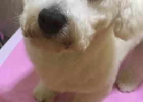 寻狗启示,八个月的比熊,公的,名字叫太子,它是一只非常可爱的宠物狗狗,希望它早日回家,不要变成流浪狗。