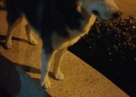 寻狗启示,哈士奇公的会叫妈妈,26日在台基厂路口西南捡到。,它是一只非常可爱的宠物狗狗,希望它早日回家,不要变成流浪狗。