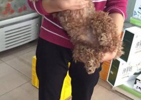 寻狗启示,横沙村平乐街母贵宾寻主,它是一只非常可爱的宠物狗狗,希望它早日回家,不要变成流浪狗。