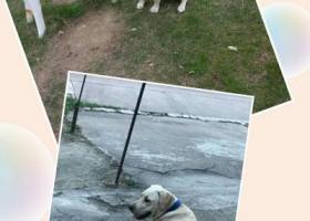 寻狗启示,无锡市梁溪区复地悦城重金寻找拉布拉多,它是一只非常可爱的宠物狗狗,希望它早日回家,不要变成流浪狗。