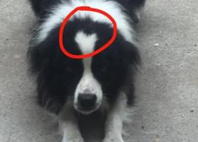 寻狗启示,南通如东县开发新区酬谢两千元寻找边牧,它是一只非常可爱的宠物狗狗,希望它早日回家,不要变成流浪狗。