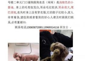 寻狗启示,淄博两千酬谢寻爱犬,闹闹,浅棕色泰迪,它是一只非常可爱的宠物狗狗,希望它早日回家,不要变成流浪狗。