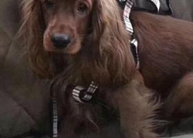 寻狗启示,长春街二环上捡到一只可卡,它是一只非常可爱的宠物狗狗,希望它早日回家,不要变成流浪狗。