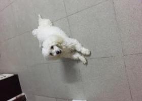 寻狗启示,广州海珠区白色狗狗找主人,它是一只非常可爱的宠物狗狗,希望它早日回家,不要变成流浪狗。
