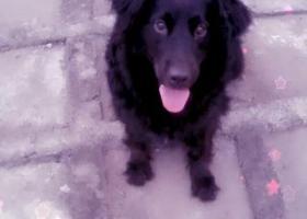 寻狗启示,大老黑,快快回家吧。,它是一只非常可爱的宠物狗狗,希望它早日回家,不要变成流浪狗。