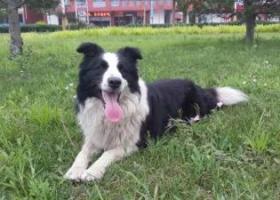 寻狗启示,乐亭县大钊路丢失边牧一只,它是一只非常可爱的宠物狗狗,希望它早日回家,不要变成流浪狗。