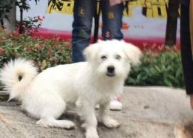 寻找京巴串串白色公狗