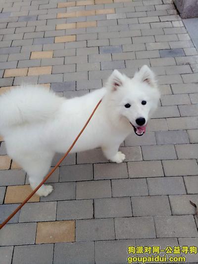 ,8个月的萨摩耶走失至今未归,它是一只非常可爱的宠物狗狗,希望它早日回家,不要变成流浪狗。