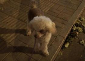 寻狗启示,朝阳门史家小学附近苍南胡同捡到一只贵妇,它是一只非常可爱的宠物狗狗,希望它早日回家,不要变成流浪狗。