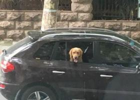 """寻狗启示,求求万能的网络,找一个叫""""戴维""""金毛狗,它是一只非常可爱的宠物狗狗,希望它早日回家,不要变成流浪狗。"""