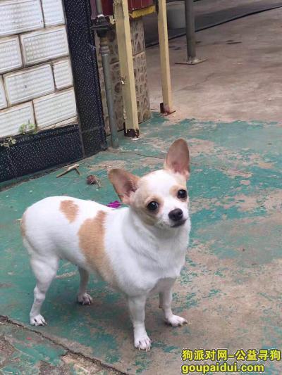 寻找白色吉娃娃(昆明右营村口龙泉路丢失),它是一只非常可爱的宠物