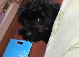 寻狗启示,挚爱黑色卷毛公泰迪2017/11/26下午一点多宁波海曙月湖公园走丢 求助,它是一只非常可爱的宠物狗狗,希望它早日回家,不要变成流浪狗。
