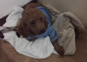 寻狗启示,在武侯区金花镇金江路附近捡到一条贵宾犬  谁家的狗丢了?,它是一只非常可爱的宠物狗狗,希望它早日回家,不要变成流浪狗。