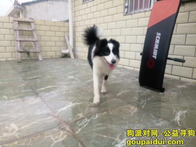 绵阳找狗主人,谁家的边牧,早上跟个媳妇儿回来,和我家的狗子各种争宠,它是一只非常可爱的宠物狗狗,希望它早日回家,不要变成流浪狗。