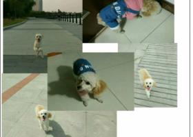 寻狗启示,烟台市牟平区夜市寻找贵宾,它是一只非常可爱的宠物狗狗,希望它早日回家,不要变成流浪狗。